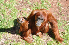 World's oldest Sumatran orangutan dies aged 62