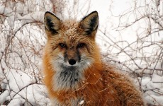 It's Friday, so here's a slideshow of foxes from around the world