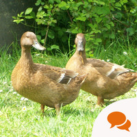 GIY: 'The Khaki Campbell is one of the most prolific backyard ducks'