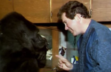 Koko, the famous gorilla who mastered sign language and cared for a kitten, has died