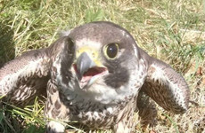Peregrine falcon rescued by firefighters dies despite treatment