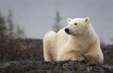 Canadian man killed in rare polar bear attack