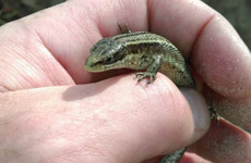 Irish lizards thriving in the heat, but fires pose a particular danger