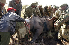 'A complete disaster': Eight out of 14 endangered rhinos die after moving to a new park