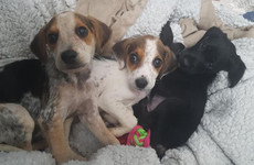16 malnourished puppies seized in Co Galway