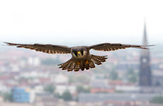Appeal after two adult falcons killed while trying to incubate eggs