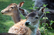 Dutch town overrun with deer plan to use lion manure to scare them off