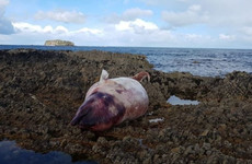 Record number of dead beaked whales washed ashore in Ireland this month