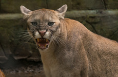 Live traps set for 'puma' rumoured to be roaming around Cork