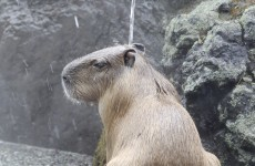 It's Friday, so here's a slideshow of capybaras from around the world
