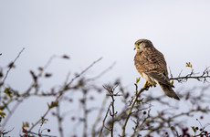 Protection of hen harriers could stop multi-million-euro wind farm project in Donegal