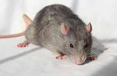 Dublin City Council blames 'rodent infestation' on warm weather rat breeding