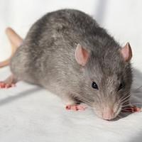 Dublin City Council blames 'rodent infestation' on warm weather rat breeding