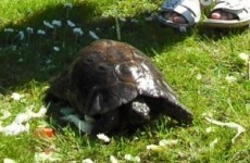 He's back! Rathgar tortoise returns home