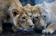 More new arrivals at Dublin Zoo...this time it's two Asian lion cubs
