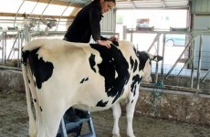 Lucky cow gets a full spinal massage