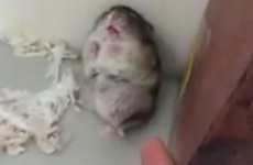 VIDEO: Adorable Hamster Playing Dead Video of the Day