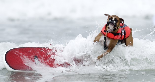 In pictures: Dogs ride waves in surf competition