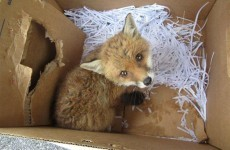 Public warned not to keep fox cubs as pets