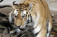 Man mauled to death in tiger attack at Danish zoo