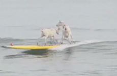 VIDEO: Here are some goats surfing