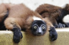 "Lemurs are ""the world's most threatened mammal"""