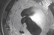 PANDAWATCH! Panda cub born at San Diego Zoo