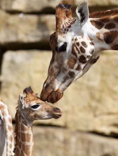 PHOTOS: What has Dublin Zoo named its new baby giraffe?
