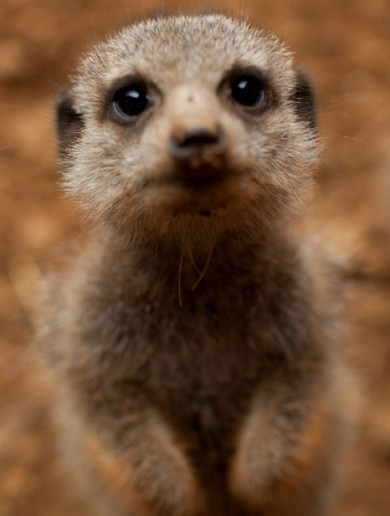 It's Friday so here's a slideshow of meerkats from around the world