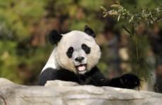 Week-old baby panda dies in US zoo