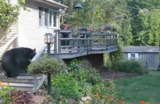 VIDEO: Bear (huge) frightened away by woman (tiny)