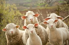 ICSA's Pre-Budget Submission says vital farm schemes must be protected