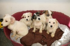 """ISPCA calls for """"consistent enforcement"""" of dog breeding act"""