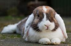 Italian teacher jailed for killing rabbits in class