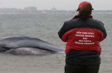 Whale beached in New York neighbourhood dies