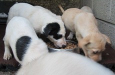 """ISPCA: """"Don't abandon the pet puppy you got for Christmas"""""""