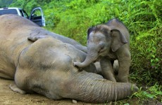 13 endangered Borneo elephants found dead in one month