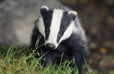 Government strategy will lead to more badger killings - Irish Wildlife Trust