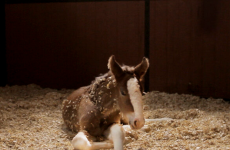 Meet Hope, the baby Clydesdale from the Super Bowl ads