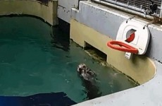 Here's an arthritic otter dunking a basketball