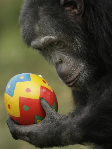 Chimp Enjoying an Easter Egg Pic of the Day