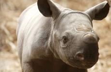 British wildlife parks being targeted by rhino poachers