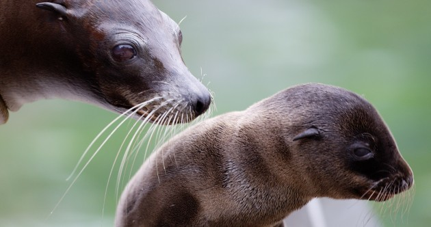 Baby sea lion wants a cuddle at Dublin Zoo