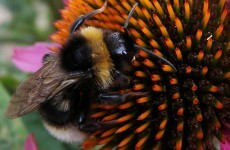 Ireland abstained from vote to ban bee-harming pesticides