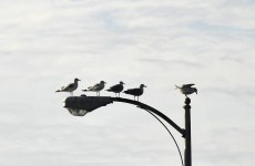 Why seagulls are the world's worst birds