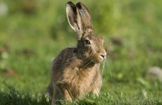 Gardaí investigating complaint about 'almost dead' hares released back into wild