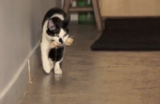 16 ways to know your cat is a dog in disguise