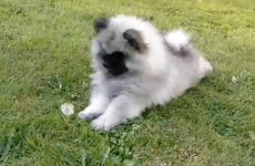 Dog has fight of his life. With a dandelion