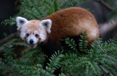 Zoo finds missing red panda chilling in a bush in neighbourhood nearby