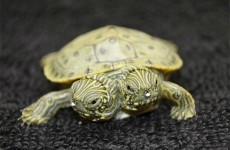 Here's the two-headed turtle born in the US